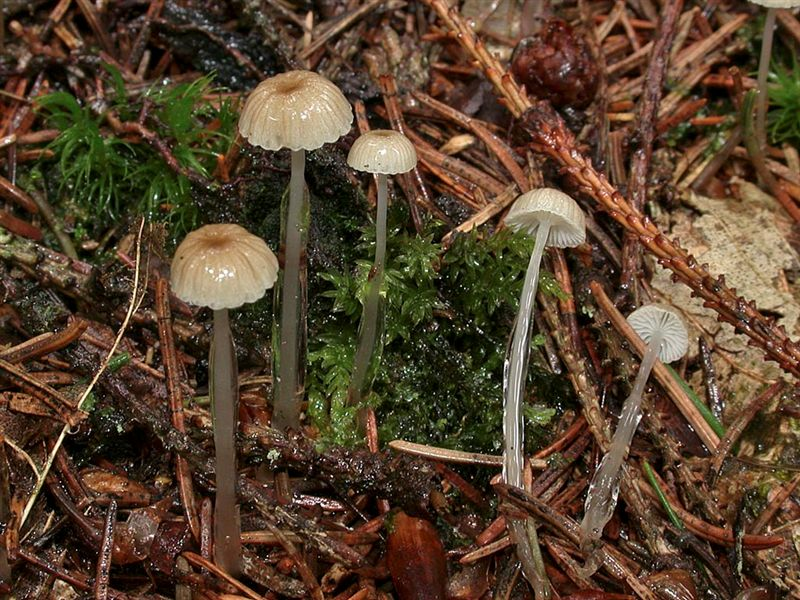 Mycena rorida