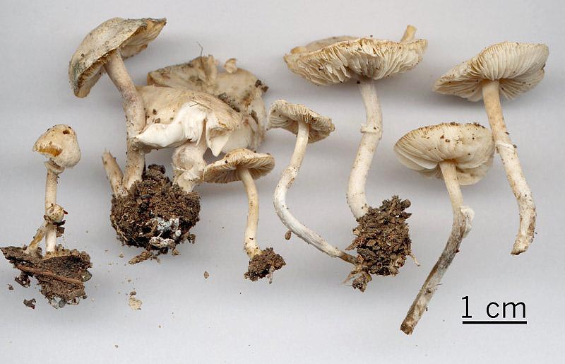 Lepiota nigrescentipes
