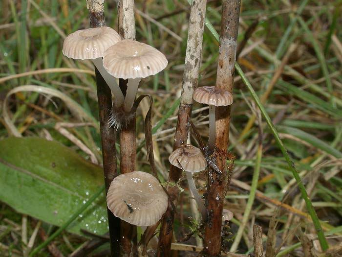 Mycena belliae
